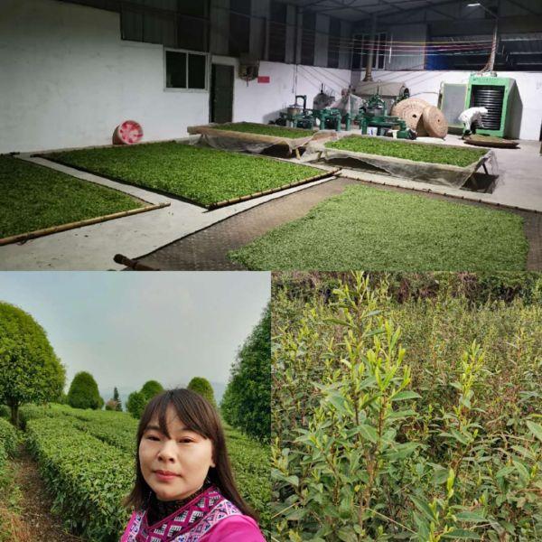 Tea farmer and photo of tea processing facilities for our green tea
