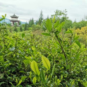 Photo of Tea leaves on tea Estate with pagoda in backgroundGuizhou