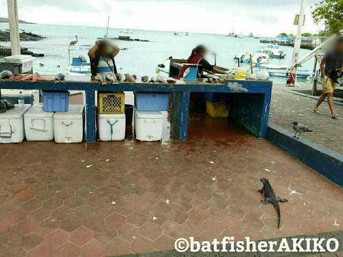魚市場にやってきたウミイグアナ