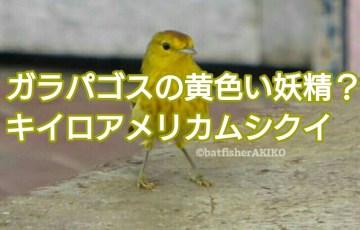 ガラパゴスの黄色い妖精?キイロアメリカムシクイ アイキャッチ
