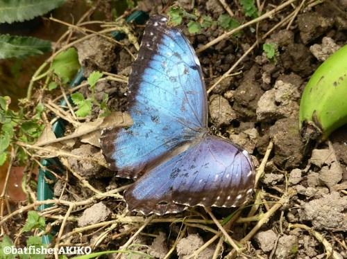 羽を広げたモルフォ蝶