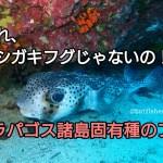 これ、イシガキフグじゃないの!?ガラパゴス諸島固有種のフグ アイキャッチ