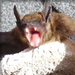 bat bearing teeth