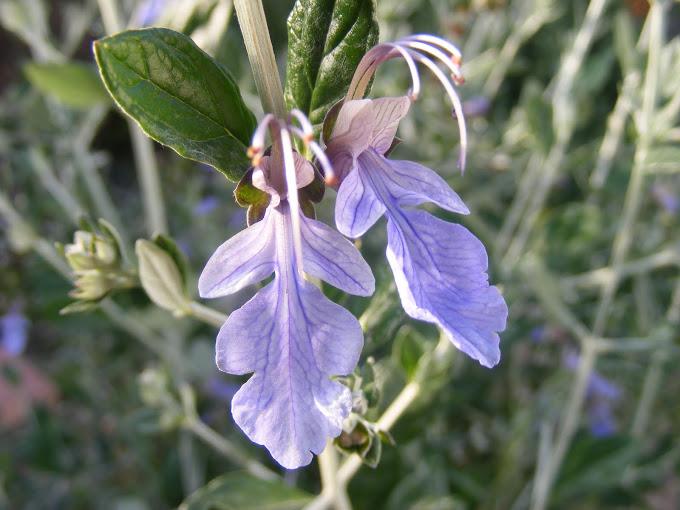 געדה שיחנית כחולה - פריחה אדירה חורף-אביב