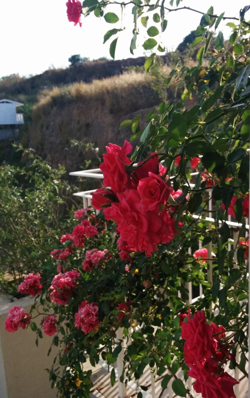 דורותי פרקינס - ורד טפס עם קצב של במבוק