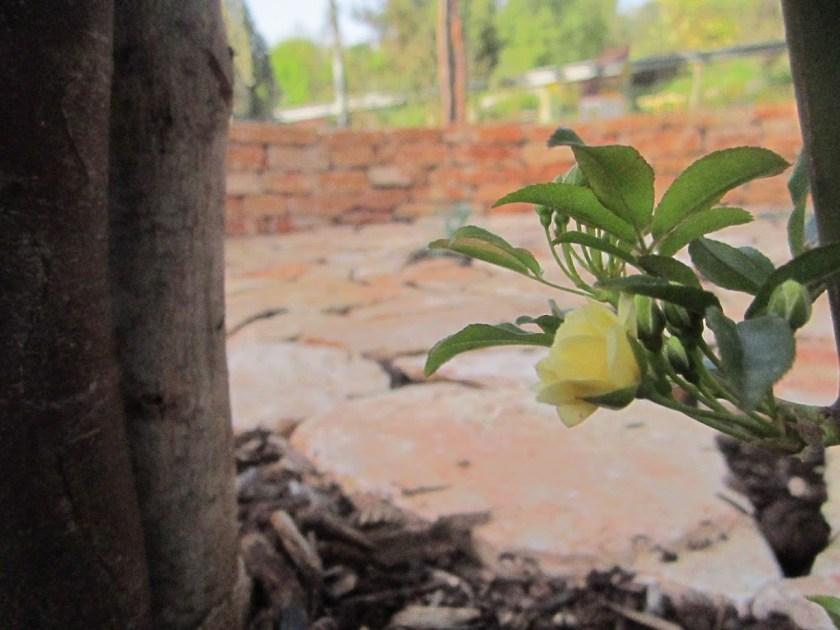 מטפס בצבע אש על הפרגולה - ורד בנקסיה.
