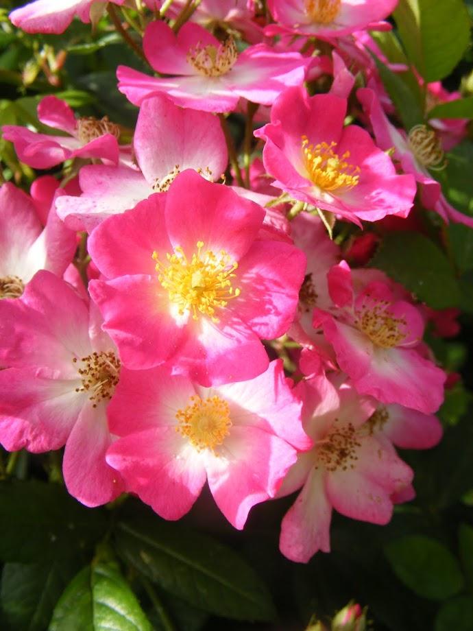 שפה שונה, עדיין ורד, התאמה לאופי המקומי - ורד ננה מולטיפלורה 'שיר'.