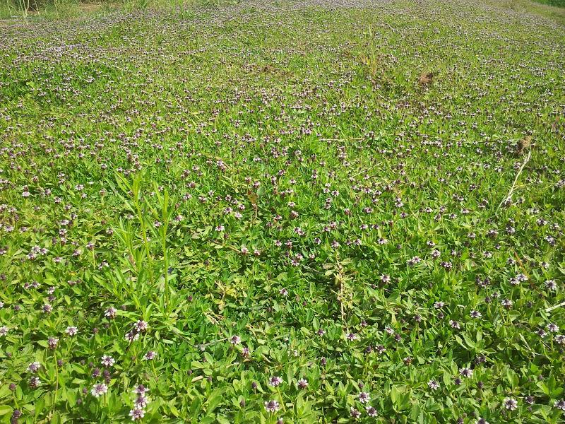 ליפיה זוחלת בפארק הוד השרון - לכיסוי משטחים מהיר אך אגרסיבי מידי למדשאת אחו מעורבת