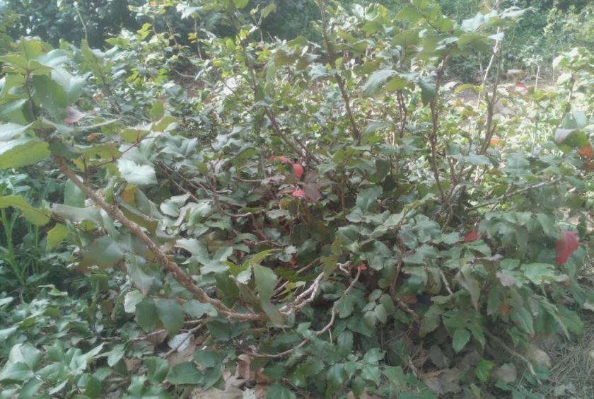 מהוניה זוחלת, גוש ותיק בגן הוורדים