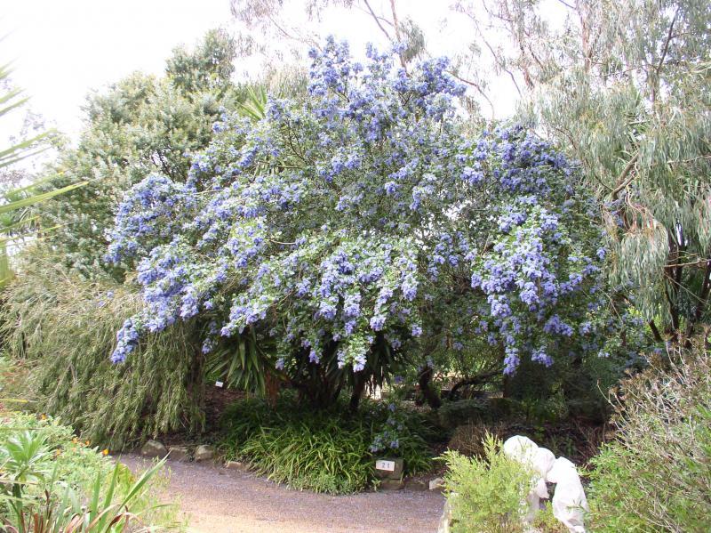 ציאנותוס עצי - ראו מקור באתר