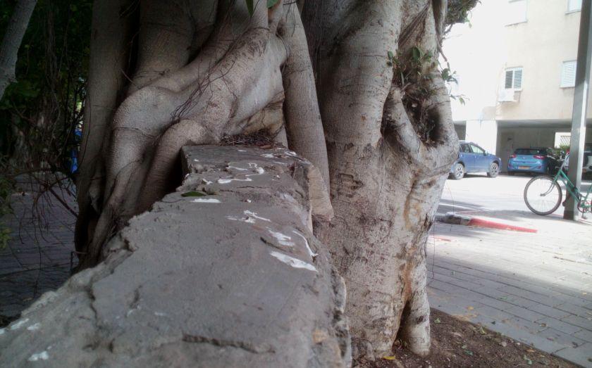 פיקוס בולע גדר - תל אביב כאקסטרטוריה