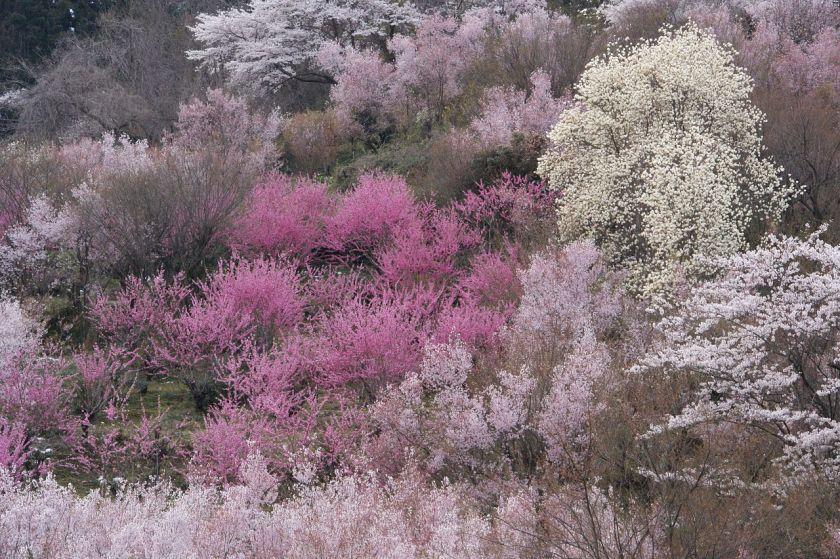 """לא דובדבן כי אם שזיף. טקס הפריחה ביפן. טקסים הם אחד הסוכנים העיקריים בקיבוע שקים כאמיתות. גם אם בסגידה ל""""יופי"""""""