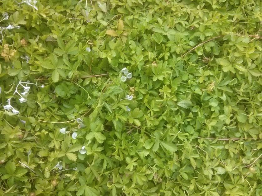 חמשן זוחל, ליפיה זוחלת, דיכונדרה כסופה - הבסיס המהיר בתחליף המדשאה