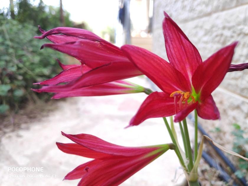 רודופיאלה אדומה -משמש מלאה לצל מלא, תחת כל תנאי השקיה.
