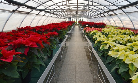 TBM 1712.07 DDOP-Advent-07: Poinsettias