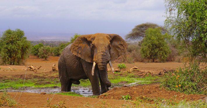 Amboseli - elephant