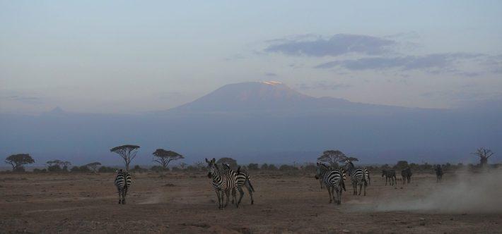 Amboseli - Zebras in front of Kilimanjaro