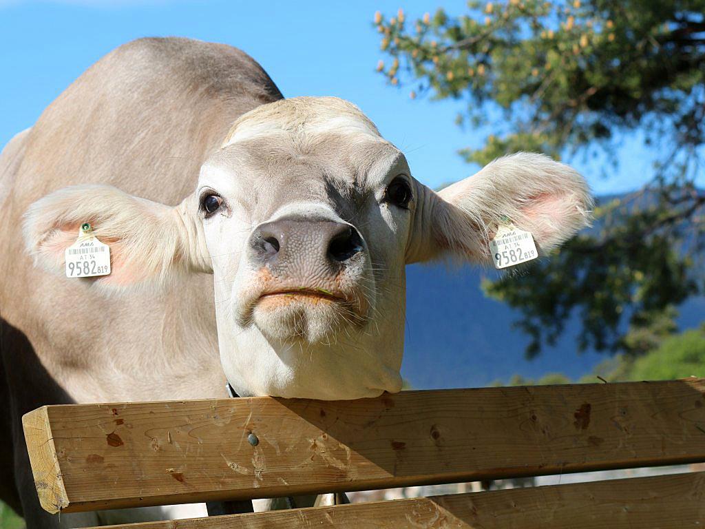 """Hat die Kuh Charakter? - """"Ja. Sehr menschlichen, sagen unsere Bauern und - die Kuh vergisst nie"""", Foto: Knut Kuckel"""