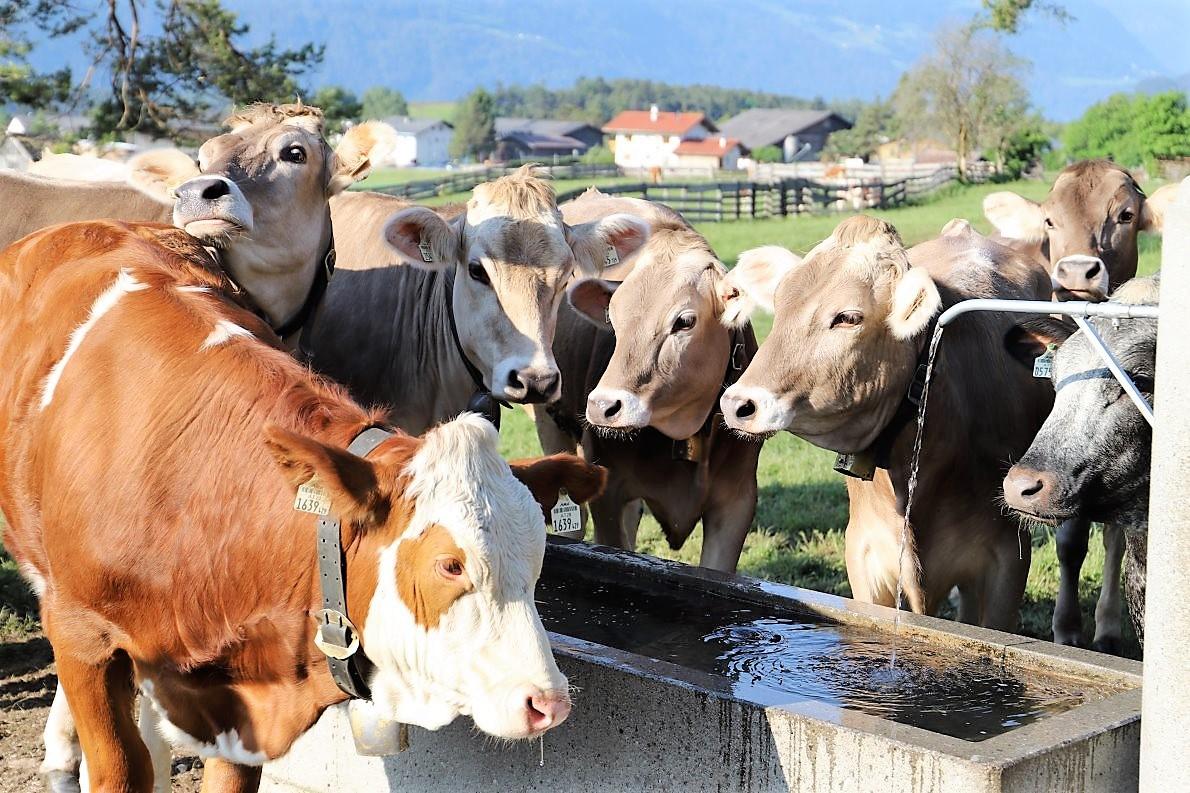 Milchwirtschaft ist Almwirtschaft, Voralm am Kälberhag in Obermieming. Foto: Knut Kuckel