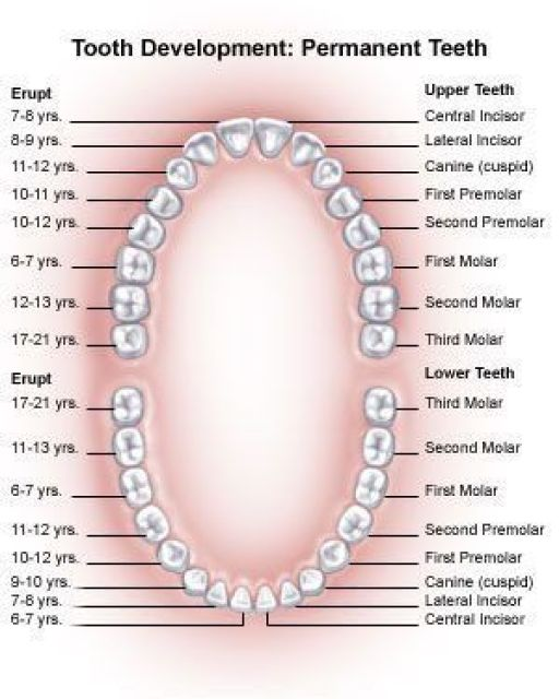 tooth development chart for permanent teeth