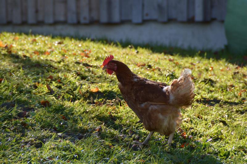 robert höck hühner fùttern