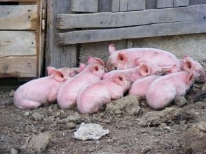 pigs-87606_640