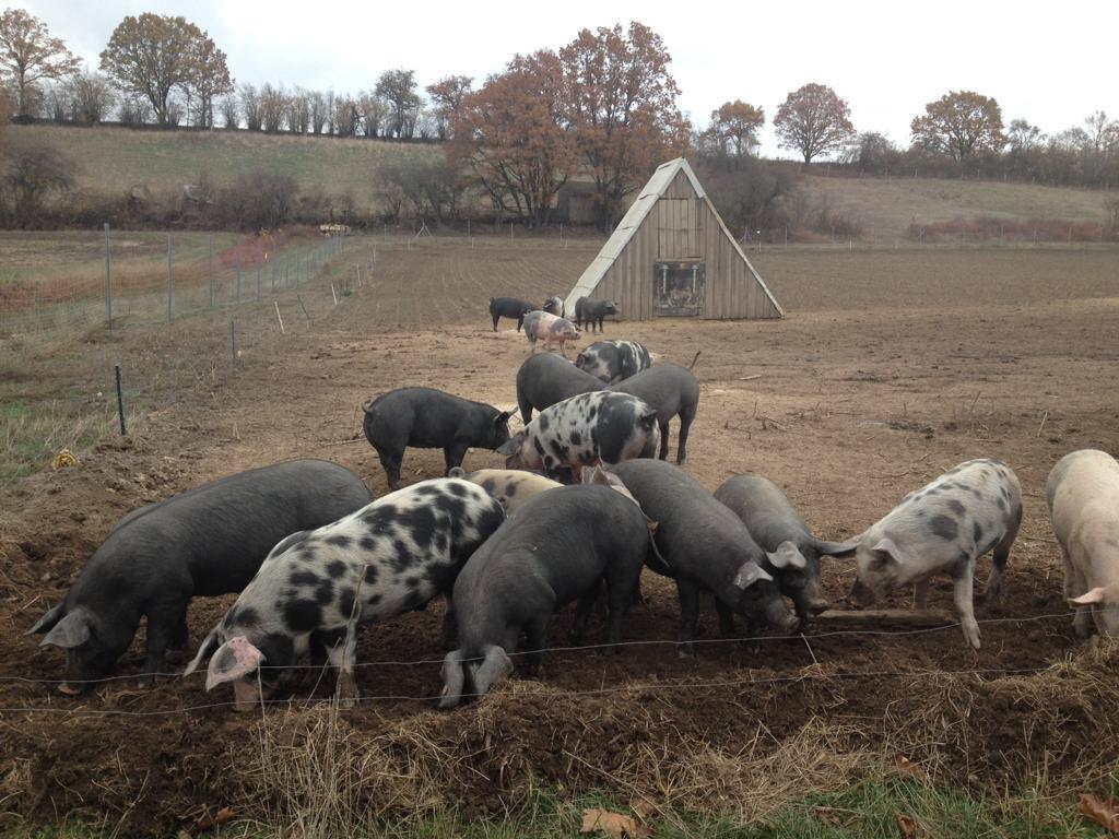 200 000 000 schweine in china