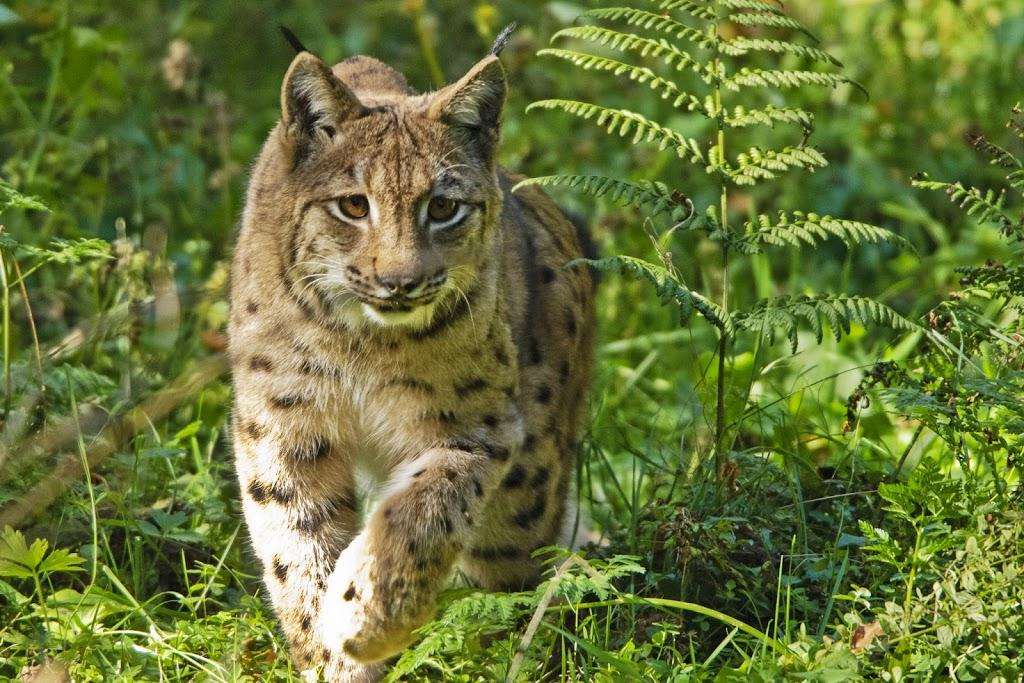 Wildtier des Jahres 2011 (Lynx lynx)