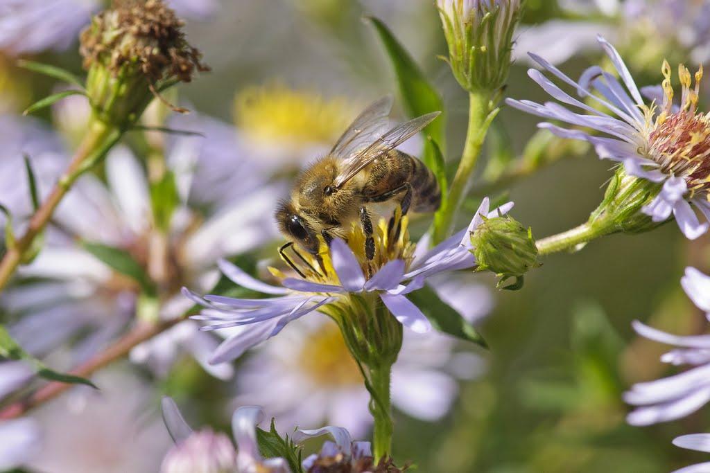 Europäische Honigbiene (Apis mellifera), Botanischer Garten, München
