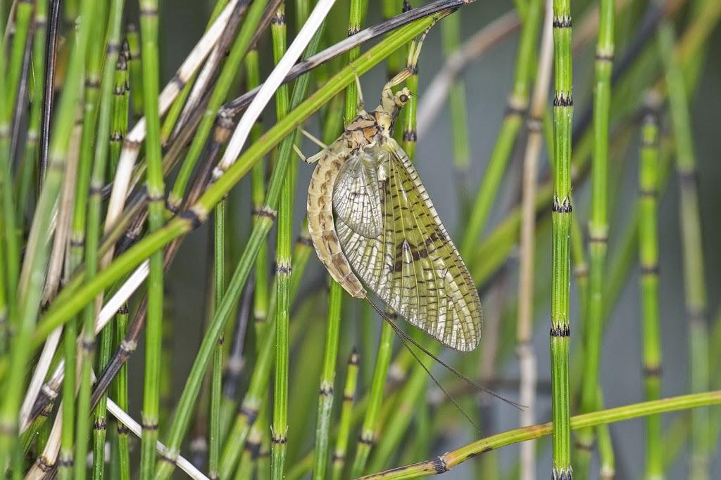 Eintagsfliege (Ordnung: Ephemeroptera)