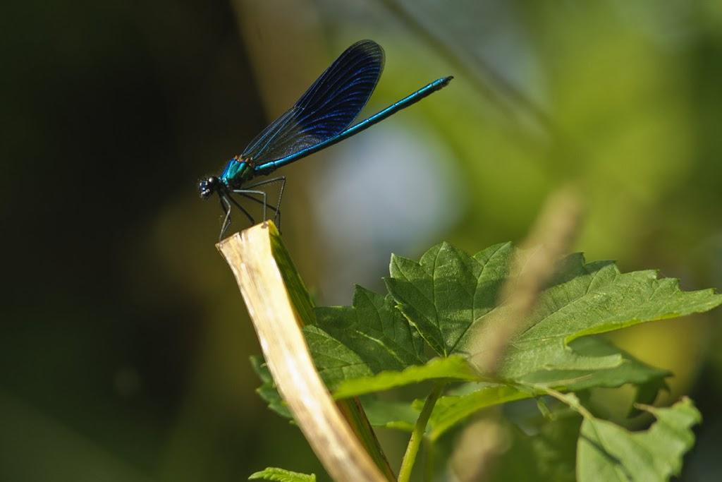 männliche blau-gebänderte Prachtlibelle (Calopteryx splendens)