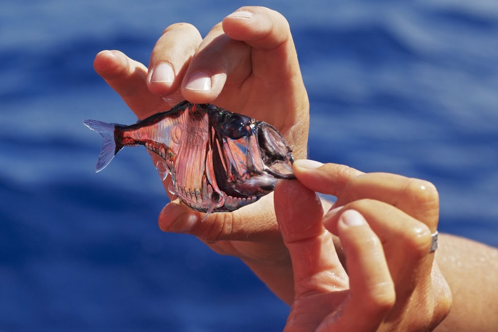 Atlantic Silber Hatchetfish (Argyropelecus aculeatus)