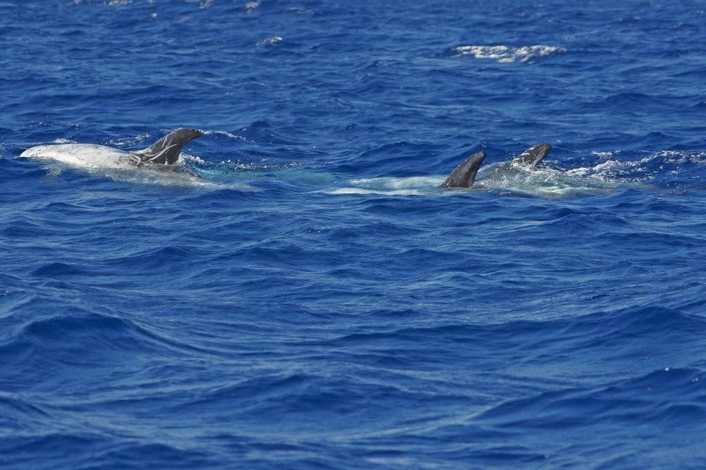 Risso- oder Rundkopfdelfine (Grampus griseus)