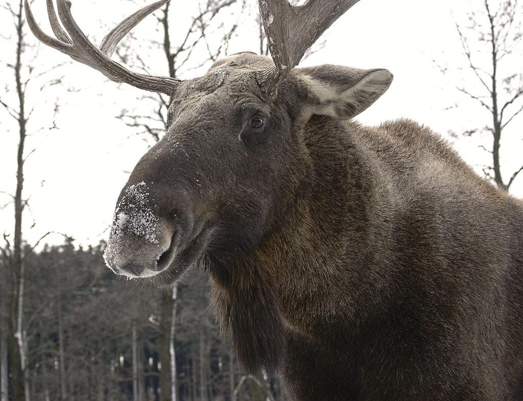 Bei den Elchen im Wildpark Poing