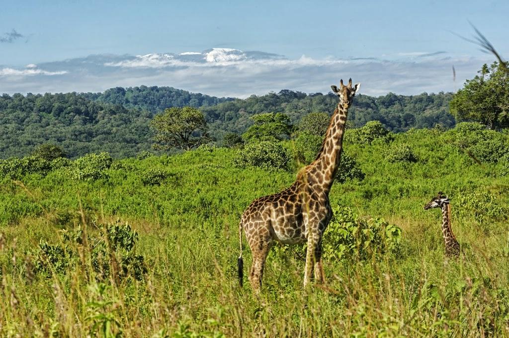 weibliche Massai-Giraffe (Giraffa camelopardalis tippelskirchi) mit Jungtier, im Hintergrund der Kilimandscharo