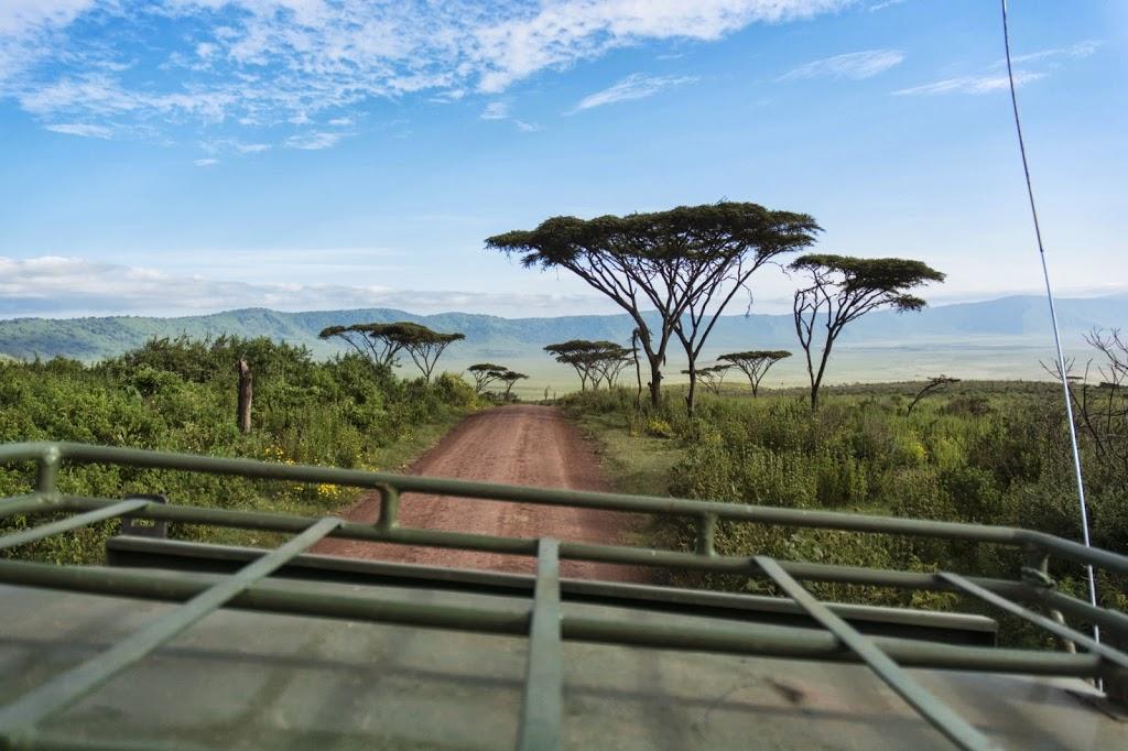 Schirmakazien im Ngorongoro Krater