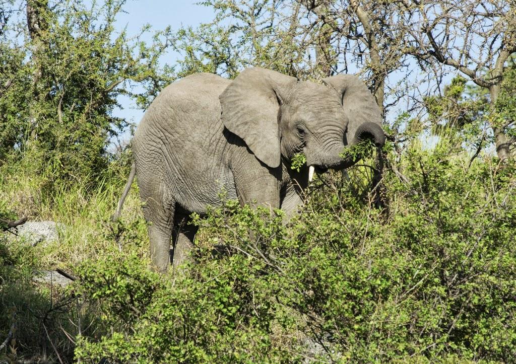 Ein junger Elefant bei der Akazien-Ernte (Gelbrindenakazie ?)