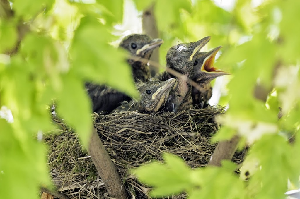 4 junge Amseln oder Schwarzdrosseln teilen sich das Nest