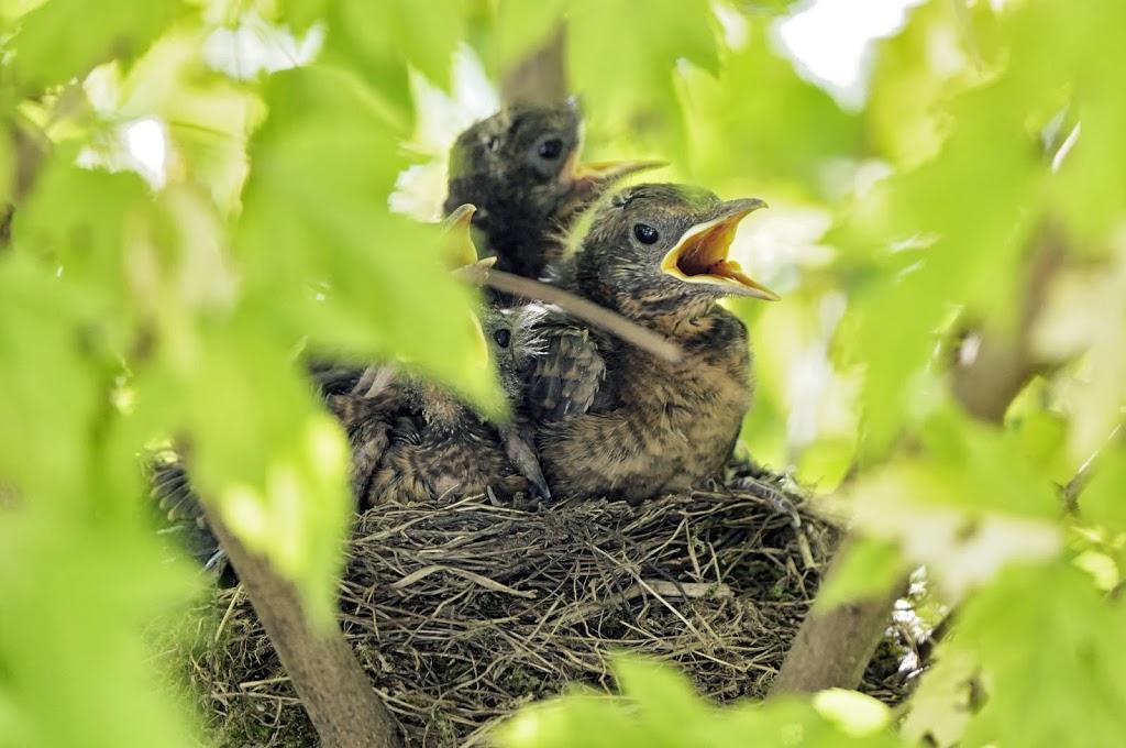 gefüttert werden die Jungen etwa 10 Tage als Nestlinge ...dann am Boden als Jungvögel
