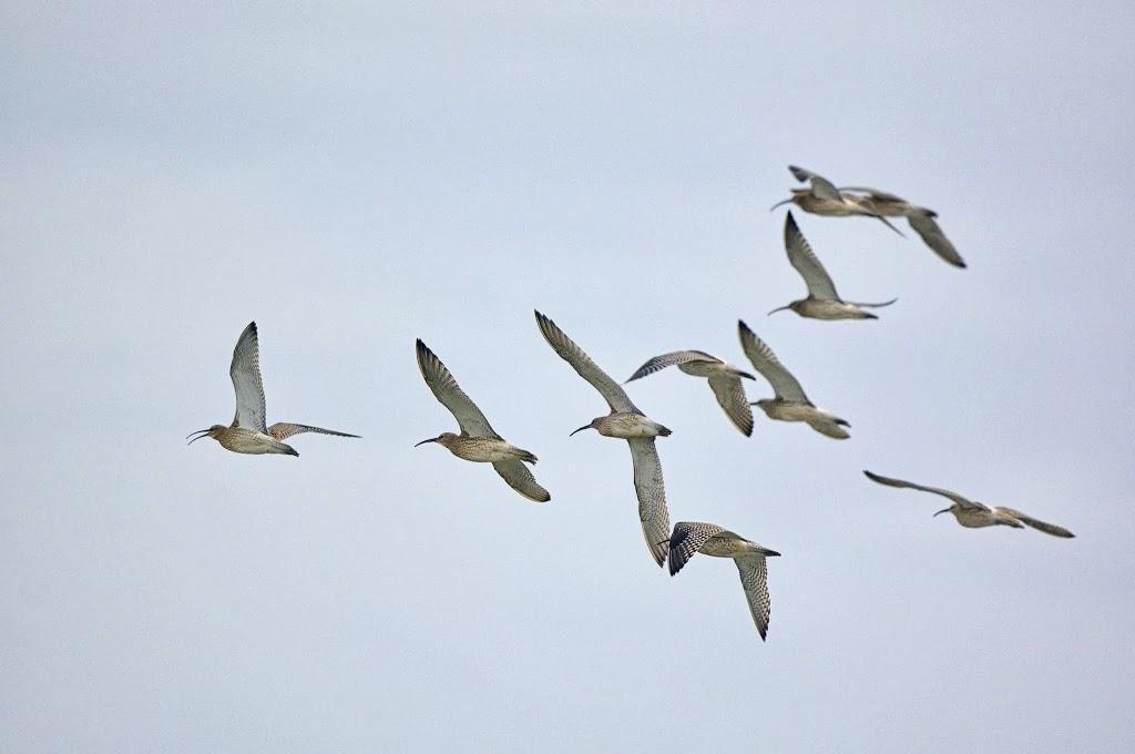 ein Trupp großer Brachvögel im Abflug