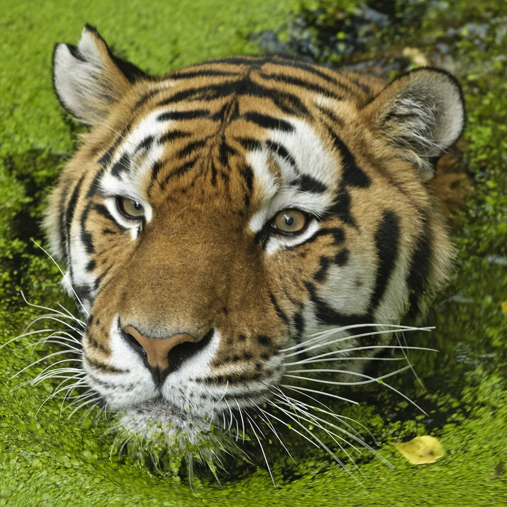 Amur Tiger (Panthera tigris altaica), Tierpark Nürnberg
