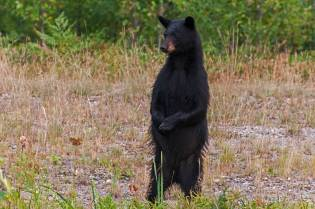 weiblicher Schwarzbär, Killanry Provincial Park