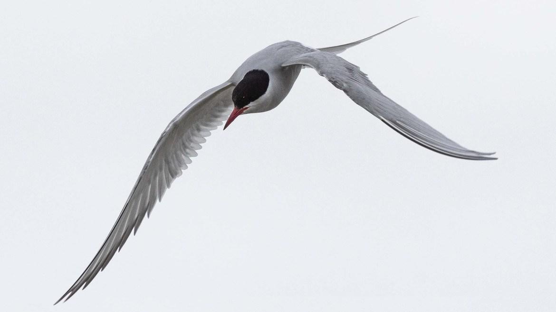 Seevogel des Jahres 2020 - die Flussseeschwalbe