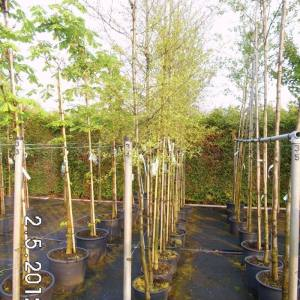 Erlenbäume