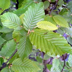 carpinus betulus-blatt