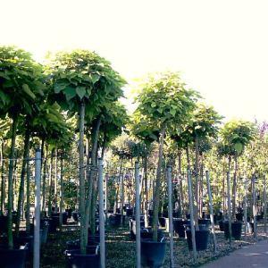 Trompetenbäume