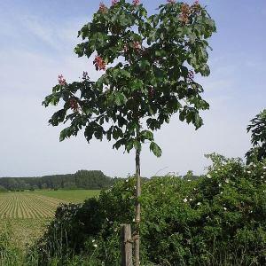 kastanienbaum-rotbluehend