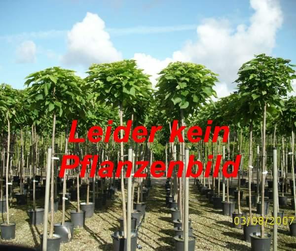 Erlenblättrige Felsenbirne Greatberry ® 'Fruity', 80-100 cm, Amelanchier alnifolia Greatberry ® 'Fruity', Containerware