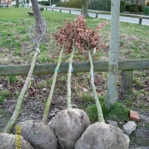 quercus-robur-hochstammbaum-12-14cm