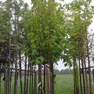 stadtlinde-greenspire-hochstamm